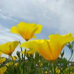 """Poppy Flowers art prints Orange Poppies Floral"" by BasleeTroutman"