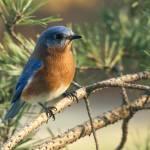 """Morning Bluebird"" by dalerobert"