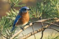 Morning Bluebird