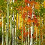 """Boulder Mountain Aspens"" by pbk"
