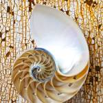 """Nautilus shell on rusty table"" by photogarry"