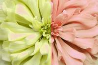 Opposites Attract Pink & Green Dahlia