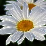 """White Daisy Abstract"" by KathieMc"