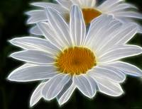 White Daisy Abstract