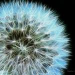 """Abstract Blue Dandelion"" by KathieMc"
