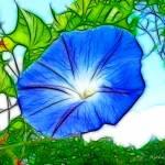 """Heavenly Blue Morning Glory"" by KathieMc"