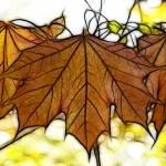 """""""Vermont Sugar Maple"""" by KathieMc"""