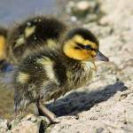"""Baby Duckling"" by cotswoldphotogallery"