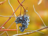 Grapes Of Late Autumn