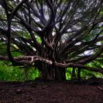 """Banyan Tree"" by RichardAustin"