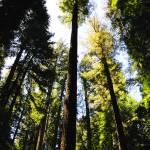 """""""Full Length Redwood"""" by RichardAustin"""