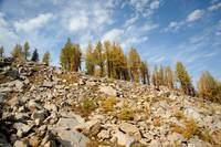 Larches on the mountain