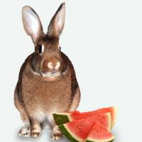 Bunny  With Watermelon Art Prints & Posters by Diane Bell