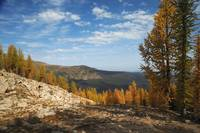 Larches of the fall