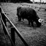 """""""Highland Cow"""" by mtdog75"""