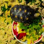 """Red footed Tortoise In Interior Enclosure"" by sandrapenadeortiz"