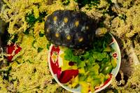 Red footed Tortoise In Interior Enclosure