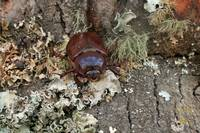 Female Rhinoceros Beetle on Log