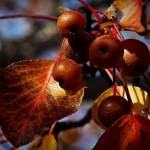 """Fall Fruit"" by bavosiphotoart"