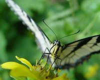 Tiger Swallowtail extreme closeup
