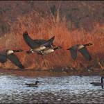 """""""Geese 7122"""" by Thomas0024"""