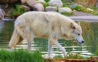 Beautiful White Wolf