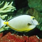 """""""Naso Tang Tropical Fish"""" by kphotos"""