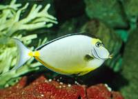 Naso Tang Tropical Fish