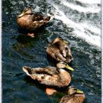 """4 Ducks and a Wave"" by AprilO"