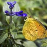 """_DSC6737 Orange-Barred Sulphur Butterfly"" by eyalna"