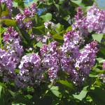 """Abstract Lilacs"" by Scribenet"