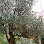 """""""Olive Grove Yemen Moshe"""" by nahone"""