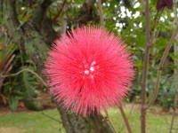 Tropical Red Puff