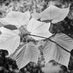 """Canopy of Leaves"" by LukeMoore"