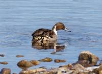 Pintail duck looking for lunch