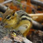 """Chipmunk Noshing Corn"" by Scribenet"