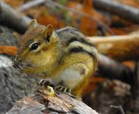 Chipmunk Noshing Corn