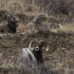 """Big Horn Sheep, the Family."" by justnaturephotography"