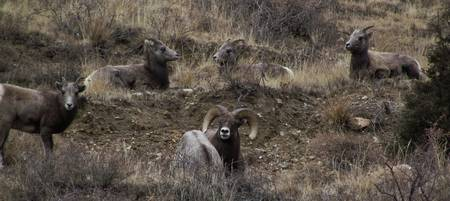 Big Horn Sheep, the Family.