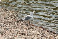 Herring Gull on a Beach