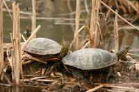 Pair of Painted Turtles
