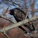 """Turkey Vulture Mid-Fall 1"" by Natureexploration"