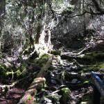 """Weindorfers Forest Walk, Tasmania, Australia 002"" by dawncloudflower"
