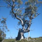 """""""Trees near to Dove Lake, Cradle Mountain 001"""" by dawncloudflower"""