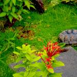 """Red Footed Tortoise Exploring Outdoor Enclosure"" by sandrapenadeortiz"