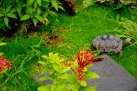 Red Footed Tortoise Exploring Outdoor Enclosure