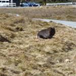 """Wombat Near Entrance of Crater Lake Board Walk 001"" by dawncloudflower"