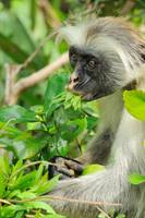 Red colobus eating leaves