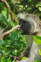 Red colobus with leaves