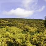 """Moorland in Bloom"" by simonevanbergen"
